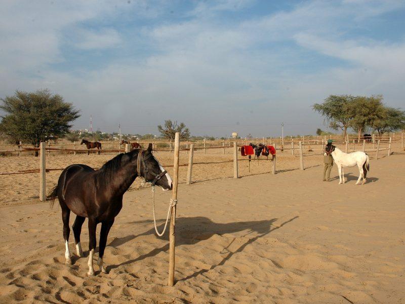 camels & horses edited